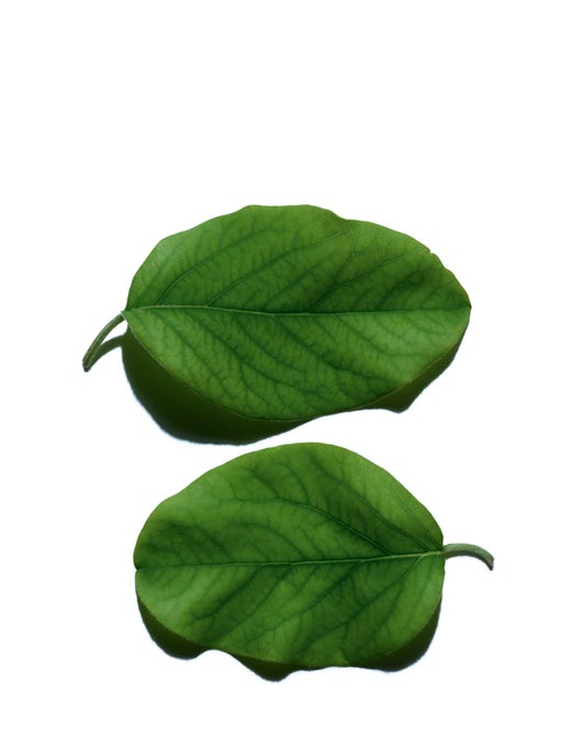 Quince Leaf