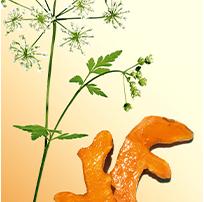 Organic Wild Chervil and Turmeric extract